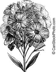 Aegean wallflower or Erysimum cheiri vintage engraving -...