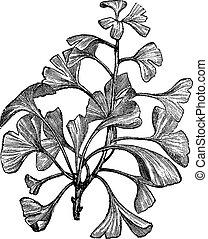gravure, vendange, salisburia, ginkgo, biloba, adiantifolia,...