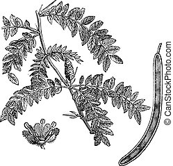 Honey locust or Gleditsia triacanthos vintage engraving