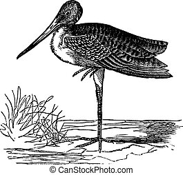 Marbled Godwit or Limosa fedoa vintage engraving - Marbled...