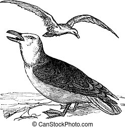Great Black-backed Gull or Larus marinus vintage engraving -...