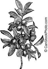 Cattley guava or Psidium littorale vintage engraving -...