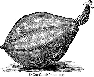 Bottle gourd or Lagenaria siceraria vintage engraving