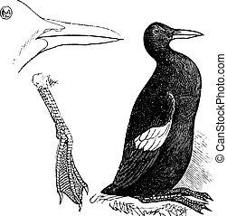 Guillemots white (summer plumage) vintage engraving