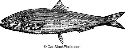 White herring vintage engraving Old engraved illustration of...