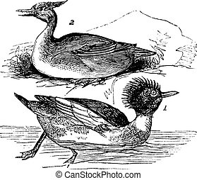 Red-breasted Merganser (Mergus serrator) 1. male 2. female vintage engraving