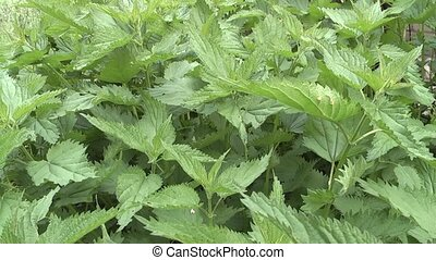nettle - 	nettle, burning weed.
