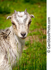 Goat grazing in a field - A vertical color image of a farm...