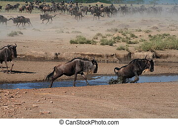 Wildebeest in action - Wildebeest crossing river
