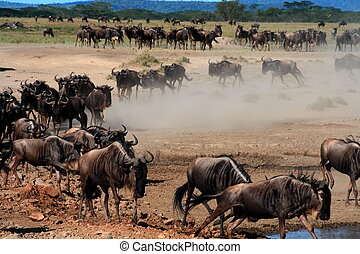 Great Migration of wildebeest in Serengeti