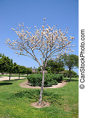 White Dogwood Tree Blooming - Blooming white dogwood tree in...