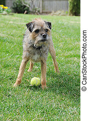 Purebred Canine Border Terrier Dog