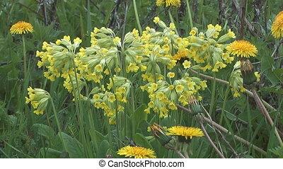 Primula flowers.