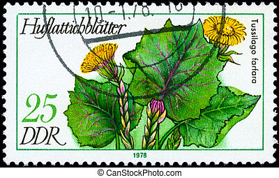 GDR - CIRCA 1978 Coltsfoot - GDR - CIRCA 1978: A Stamp shows...