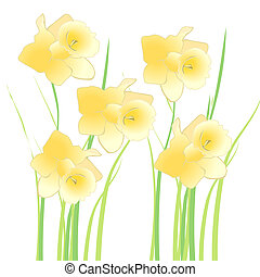 daffodil - illustration