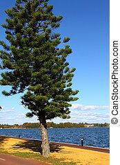 Araucaria, árbol, Perth, Australia