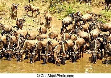 Group of Wildebeest drinking water at a waterhole