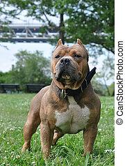mojado, Purebred, tricolor, canino, perro