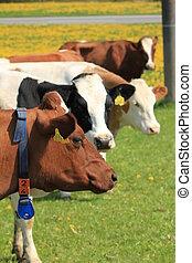 vacas, marrón