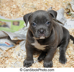 Purebred Canine American Bully Pup