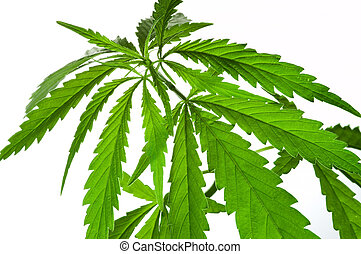 Cannabis indica - Cannabis leaves isolated on white
