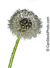 Wet dandelion - Dandelion covered with water droplets on...