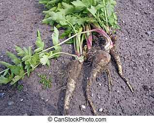 grow your own parsnips