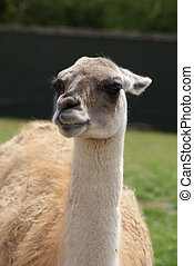 Guanaco - Lama guanicoe - Close-up image of a Guanaco - Lama...