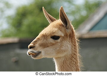 Vicuna - Vicugna vicugna - Close-up image of Vicuna -...