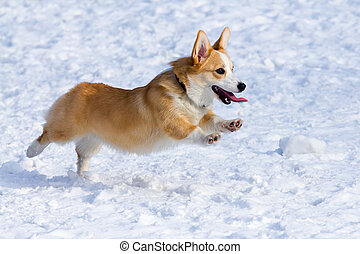 embroke Welsh Corgi - Dog breed Welsh Corgi Pembroke runs...