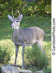 young buck - young whitetail buck in early fall colors