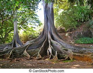 Trees with huge roots - Ficus trees with massive root system...