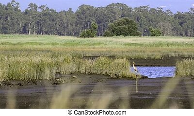 Grey Heron (Ardea cinerea), on shallow water landscape.