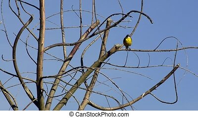 Yellow Wagtail (Motacilla flava), upon the branches of a...