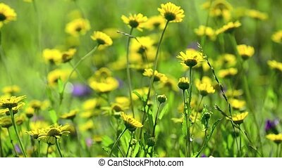 Yellow daisy flowers sway in the wind