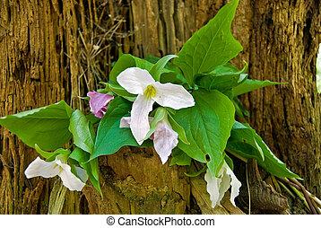 Spring trillium - Trillium bouquet in old tree stump.