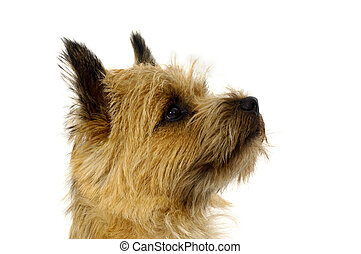 Dog face of Cairn Terrier - Face of sweet dog, taken on a...