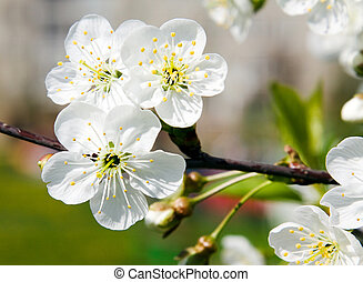 Blossoming tree - Cherry blossoming by white colors in a...