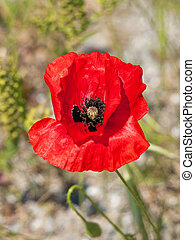 Papaver - Opium poppy (Papaver L.) is the common name of a...