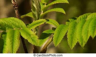 green leaf rowan