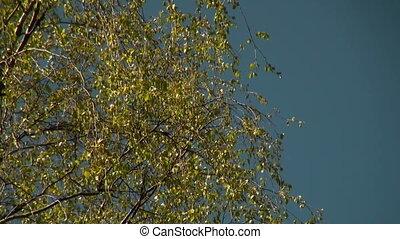Crohn's birch