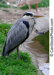 Grey heron by pool side on grass