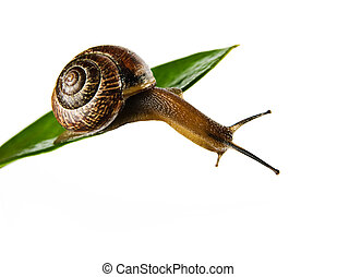 snail - common garden snail (Helix aspersa) on green leaf