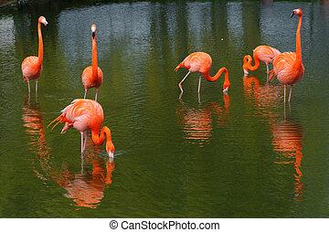 Six flamingos feeding in a pool