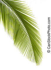 Palm leaf - Part of palm leaf on white background