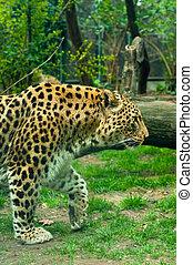 Un, Leopardo, bosque, brumoso, día