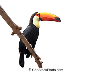 toucan - bird toucan of the Amazonian jungle in the moscow...