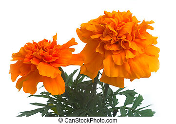 French marigolds - seedlings of French marigolds ready to be...