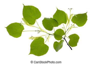 linden leaf over white
