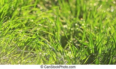 Green grass windy at sunset